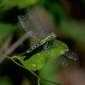 Dragonfly by Ronnie Sue Ambrosino - Animals Insects & Spiders ( wings, green, leaf, insect, dragonfly,  )
