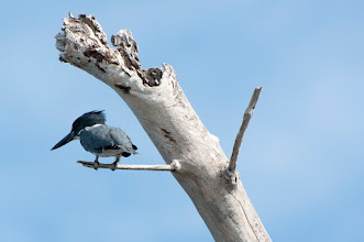 Photo: Green Kingfisher (Grünfischer); Rio Lagartos, YUC