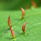 Lime nail gall