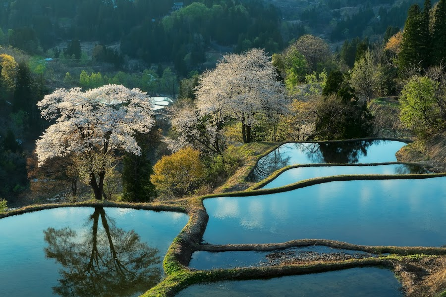 Rice terrace and blossoms by MIYAMOTO Y - Landscapes Waterscapes ( water, reflection, rice field, japan, tree, sunset, sakura, blossoms, rice terrace, niigata )
