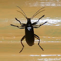Black comb-clawed beetle