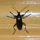 Black comb-clawed beetle
