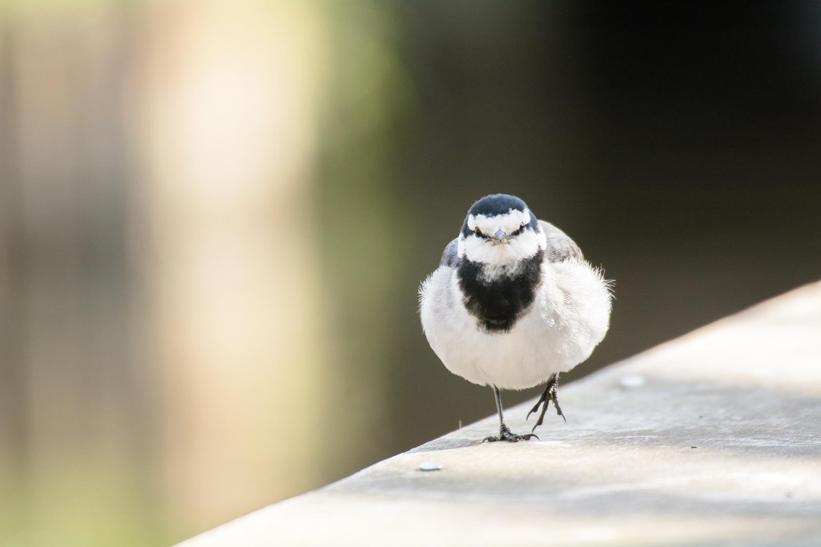 "Photo: ""進め"" ""Move forward.""  突き進む 小さな体で てくてくてくてく いつだってそう前向きに  White Wagtail. (ハクセキレイ)  #cooljapan #365cooljapanmay  #birdphotography #birds  #sigma #kawaii  #日本の写真文化を海外へ  Nikon D7100 SIGMA APO 50-500mm F5-6.3 DG OS HSM [ Day295, March 3rd ] (2枚追加:Added 2 photo)  小鳥の詩朗読 http://youtu.be/DEAoU92Go7U?list=PL2YtHGm0-R3qVsaqvQe9OYdJFCkI98wzF"