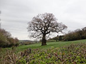 Photo: Giant oak along the Wysis Way