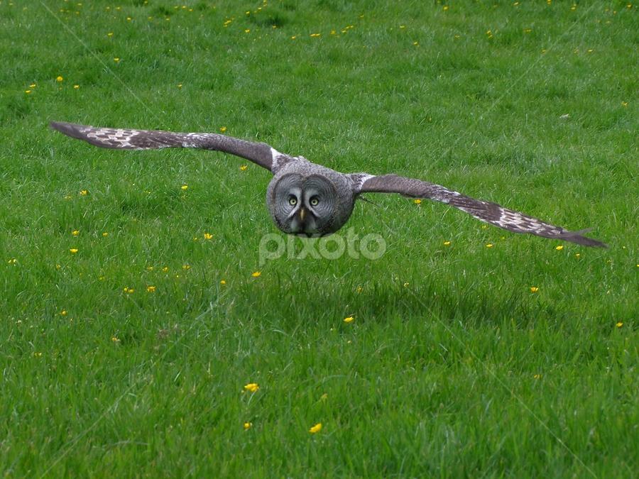 Low Flying Owl by Dean Thorpe - Animals Birds (  )