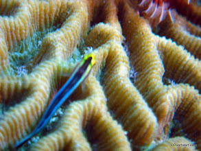 Photo: Cleaning Goby on brain coral, macro view