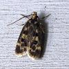 Square-spotted Matyringa moth