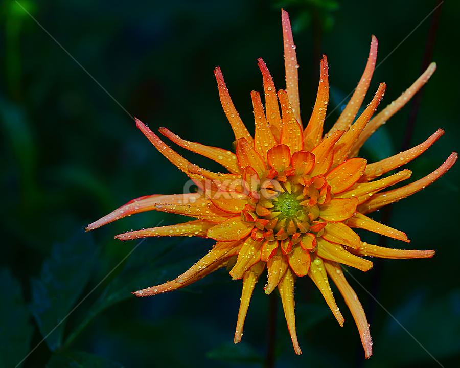 Dalhia n000223 by Gérard CHATENET - Flowers Single Flower