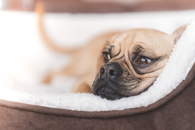 Dog resting in a calming dog bed.