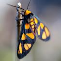 Orange-headed Wasp Moth
