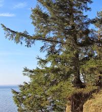 Photo: Wie lange dieser Baum da wohl noch steht?