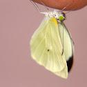 Borboleta-da-couve (Brassica butterfly)