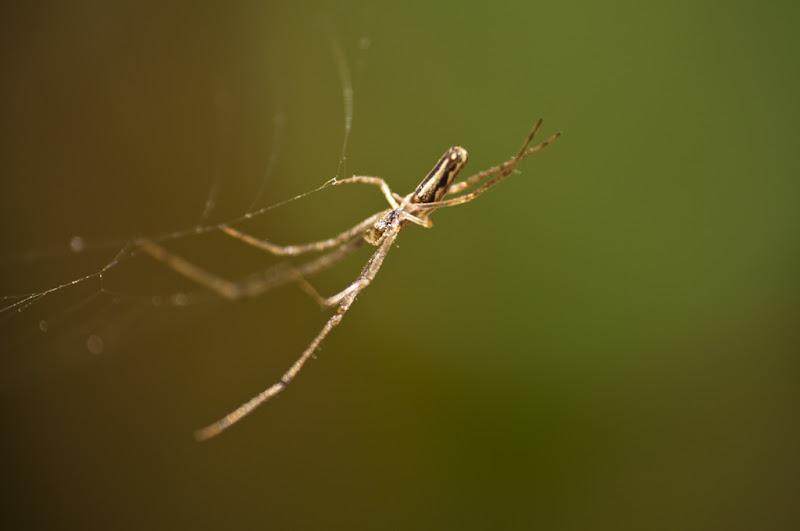 petite araignée translucide... 20110405_13_araignee_06_DSC1775