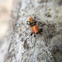Velvet Ant Mimic / Tiger spider