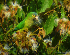 Photo: Orange-fronted Parakeet, feeding on flowers above Tecuitata