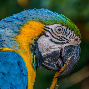 chewing here! by Peter Schoeman - Animals Birds ( blue, parrots, green, birds, macaw )