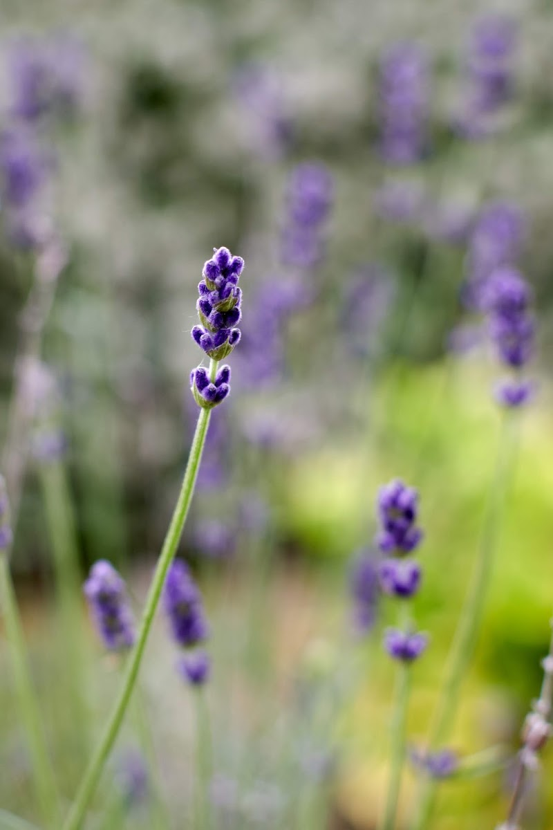 violet di tatiana morello