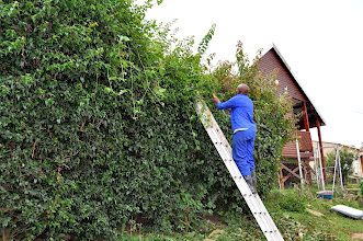 Photo: Trimming the hedges.