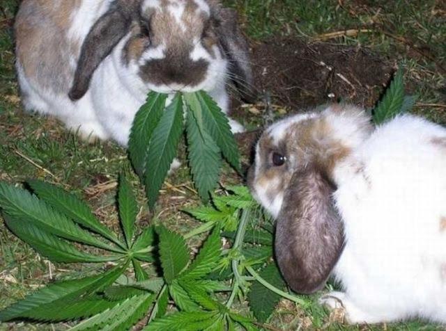 rabbits eating marijuana leaves