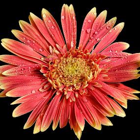 flower by Naiden Bochev - Flowers Single Flower ( nature, gardens, flowers, garden, natural, flower )