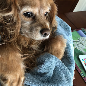 Cold paws by Theresa Murray - Uncategorized All Uncategorized ( unconditional love, winter, cold paws, towel, adorable, dog )