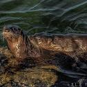 North American river otter - Wikipedia