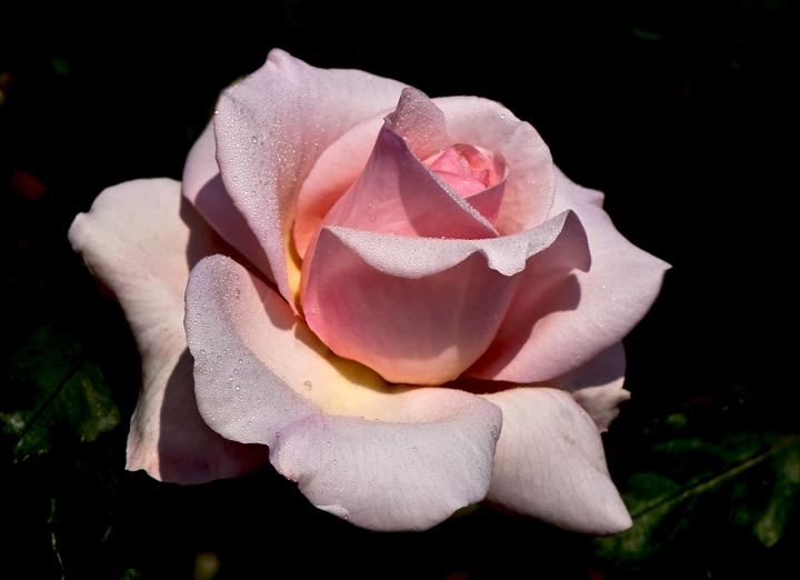 La regina dei fiori di nessuno