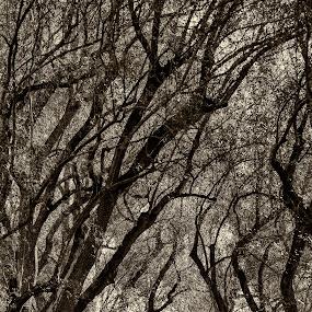 Olive tree lane by Chris Seaton - City,  Street & Park  City Parks ( fountain, sepia, olive trees, trees, park )