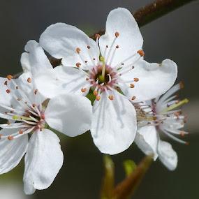 Spring flowers by Helena Moravusova - Flowers Tree Blossoms ( flowers, spring )