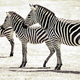 Large Medium Small by Jomy Jose - Black & White Animals ( zebra, auckland, hannahsdreamz, jomy jose )
