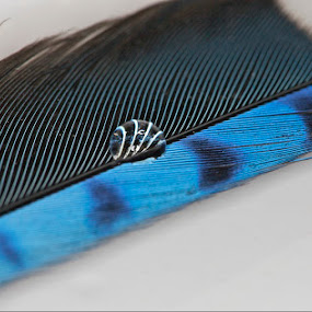 Blue Jay's feather and a Water Drop by Dora Korz - Nature Up Close Water ( water, bird, flight, macro, wing, nature, canon 180mm, blue jay, feather, close up )