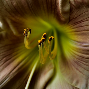 glowing from within by Tim Hauser - Flowers Single Flower ( plant, nature, lily, tim hauser, flower photography, flower )