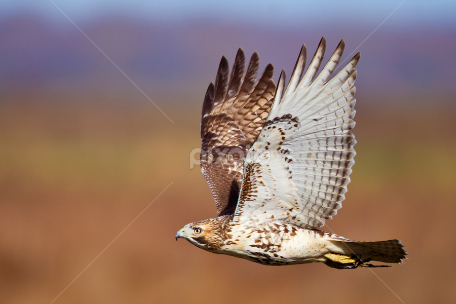 Red Tailed Hawk by Herb Houghton - Animals Birds ( bird of prey, red tailed hawk, raptor, hawk )