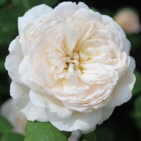Wonderful White by H Scott Burd - Flowers Single Flower ( white color single flower beautiful )