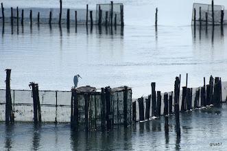 Photo: Мадая белая цапля на садках для рыбы. Миссалонги.