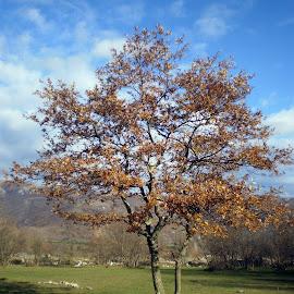 oak by Marijana Gašpić - Nature Up Close Trees & Bushes ( #tree #oak #autumn )