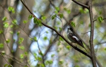 Photo: мухоловка-пеструшка
