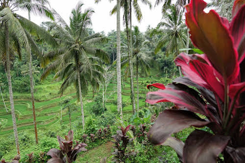 Indonesia. Bali Tegalalang Rice Terraces Banner. Coconut Trees and Red Plants