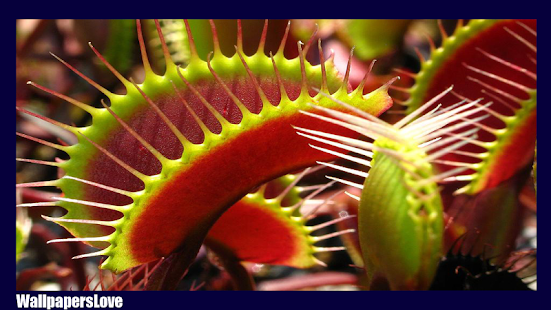 Venus Flytrap Wallpaper – Apps no