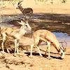 Arabian Goitered Gazelle