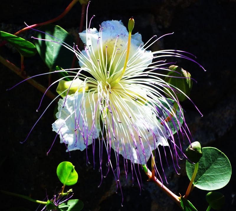 Capperi, che fiore!!! di annabus58