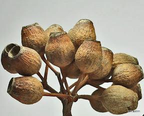 Honkeynut