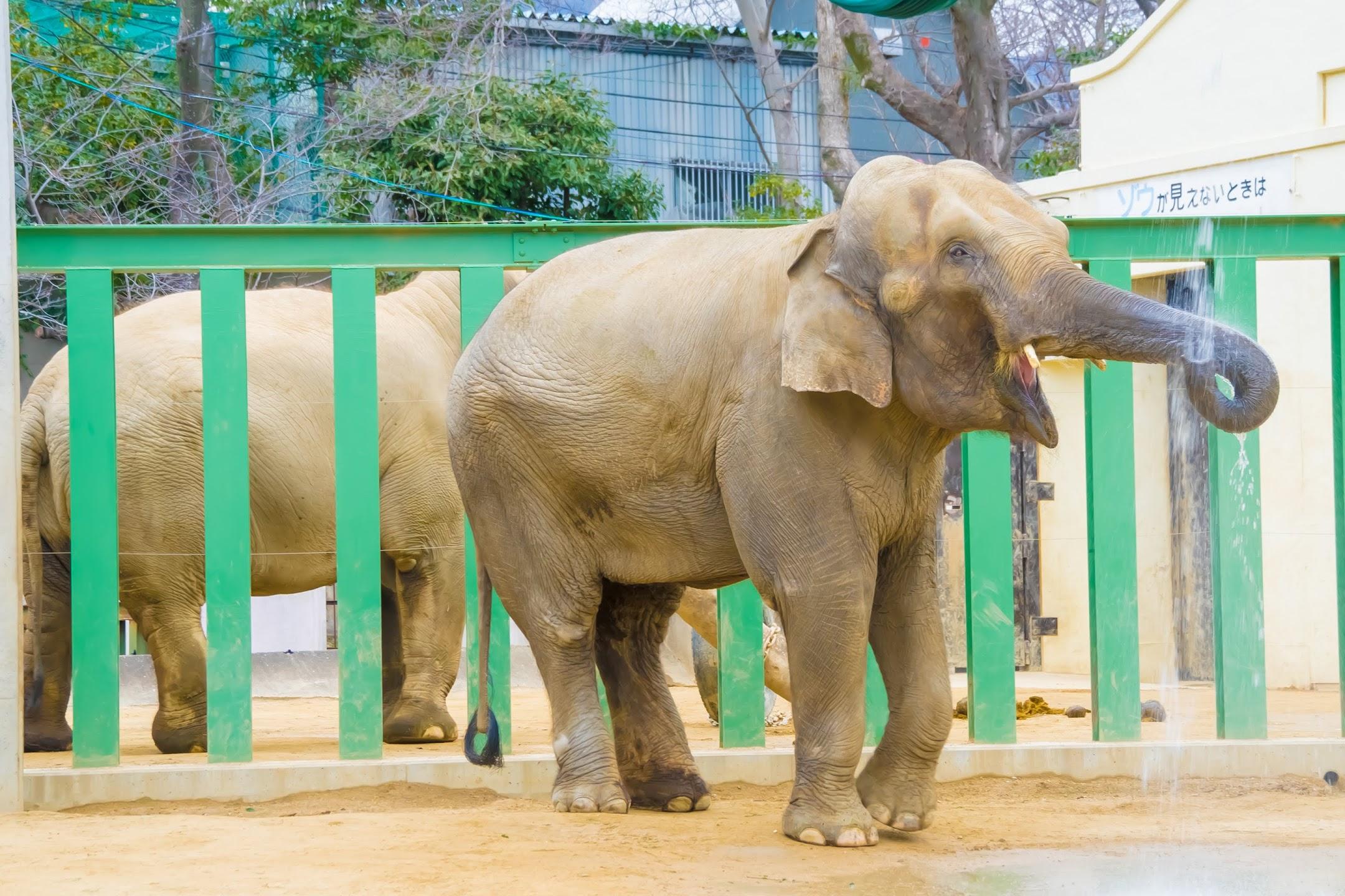 Kobe Oji Zoo Elephant1