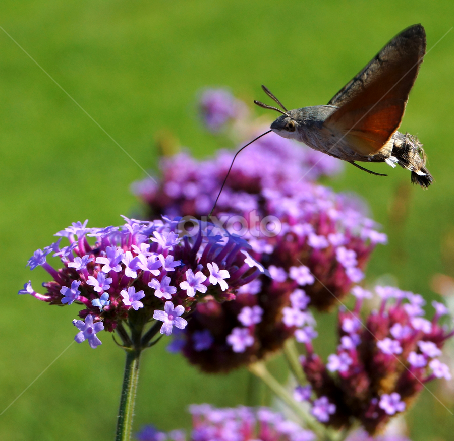 hummingbird hawk-moth by Zoltan Szabo - Animals Insects & Spiders