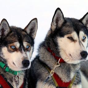 by Patrick Simon - Animals - Dogs Portraits (  )