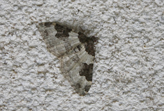 Photo: Xanthorhoe fluctuata   Lepidoptera > Geometridae