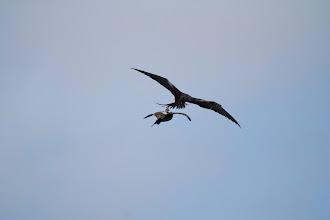 Photo: Frigatebird is harassing a booby.
