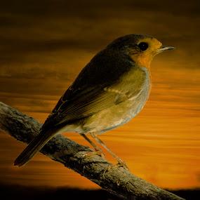 by Cretu Stefan Daniel - Animals Birds ( bird, wild, sky, fire, galben )