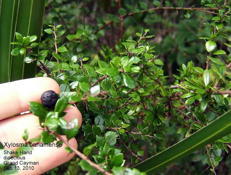 Photo: Shake Hand - Xylosma bahamense, SALICAEAE. Dioecious Critically Endangered shrub/small tree. Fruit on female plant, QE II Botanic Park woodland Trail. Flora of the Cayman Islands, Proctor, 2012 p.319, Pl.21; Wild Trees p.84/212. Range: Grand Cayman and northern Bahamas only. Ann Stafford, Feb.13, 2010.