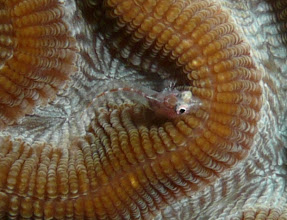 Photo: Triplefin blenny resting its own heavy head on the brain coral Colpophyllia natans